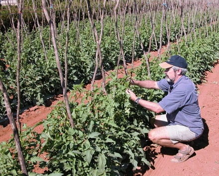 Honours student looking with phytoplasma infected tomato plant