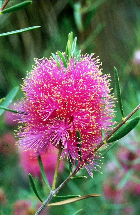 Melaleuca Fulgens Flower