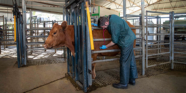 Vet student with cow