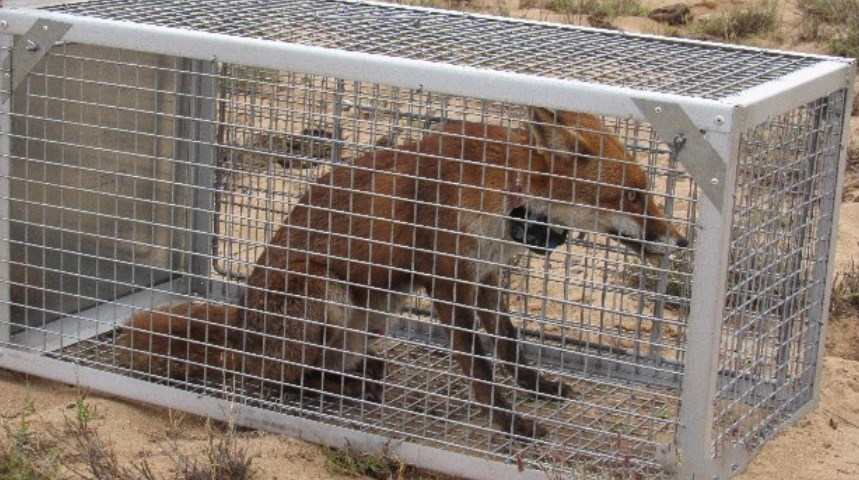 Captured fox in cage to be tagged