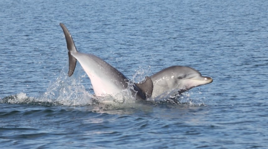 Bunbury dolphin genes reveal importance of migration