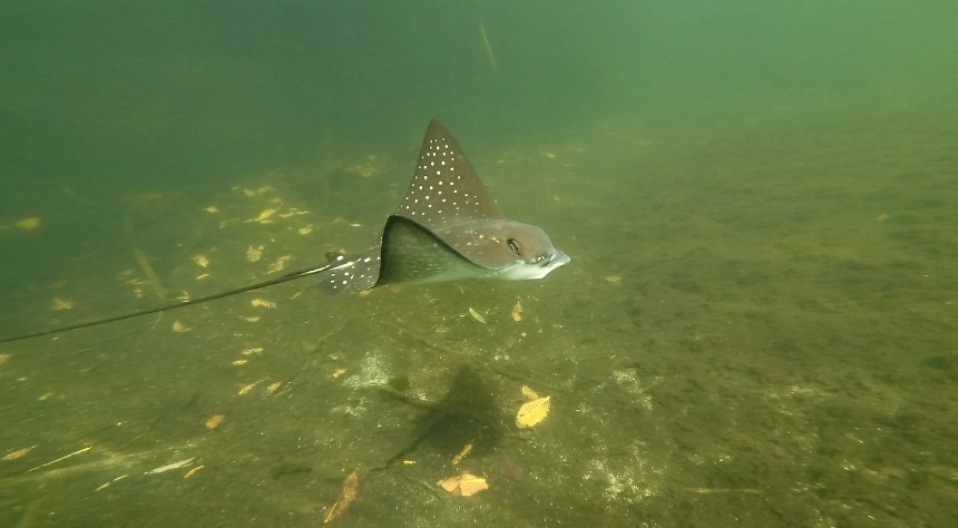 Grey spotted eagle stingray underwater